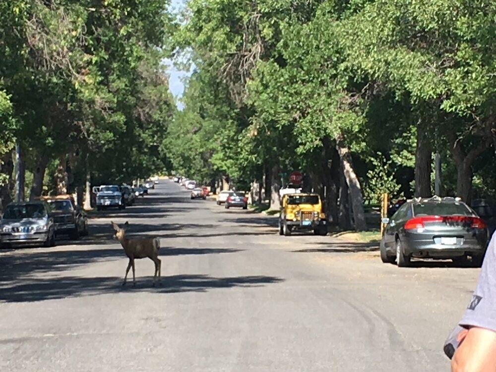 Deer in road in Helena